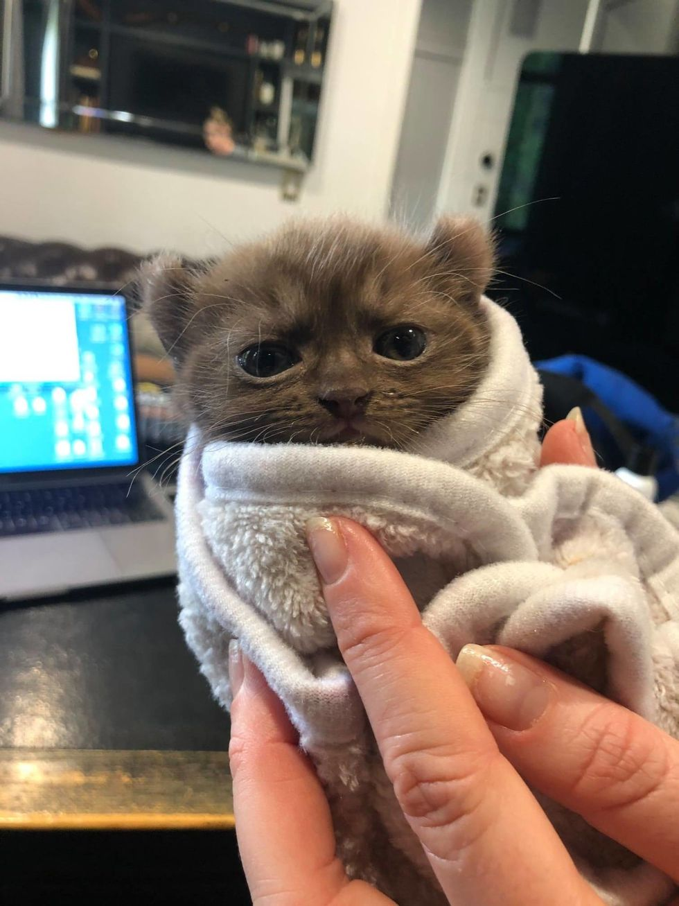 cute, kitten, quill, bear-eared, purrito