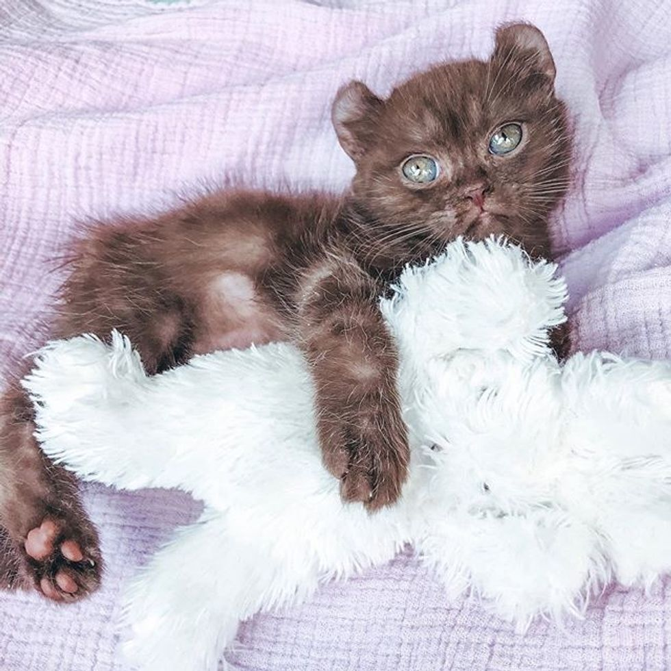 cute, kitten, quill, bear-eared, cuddles