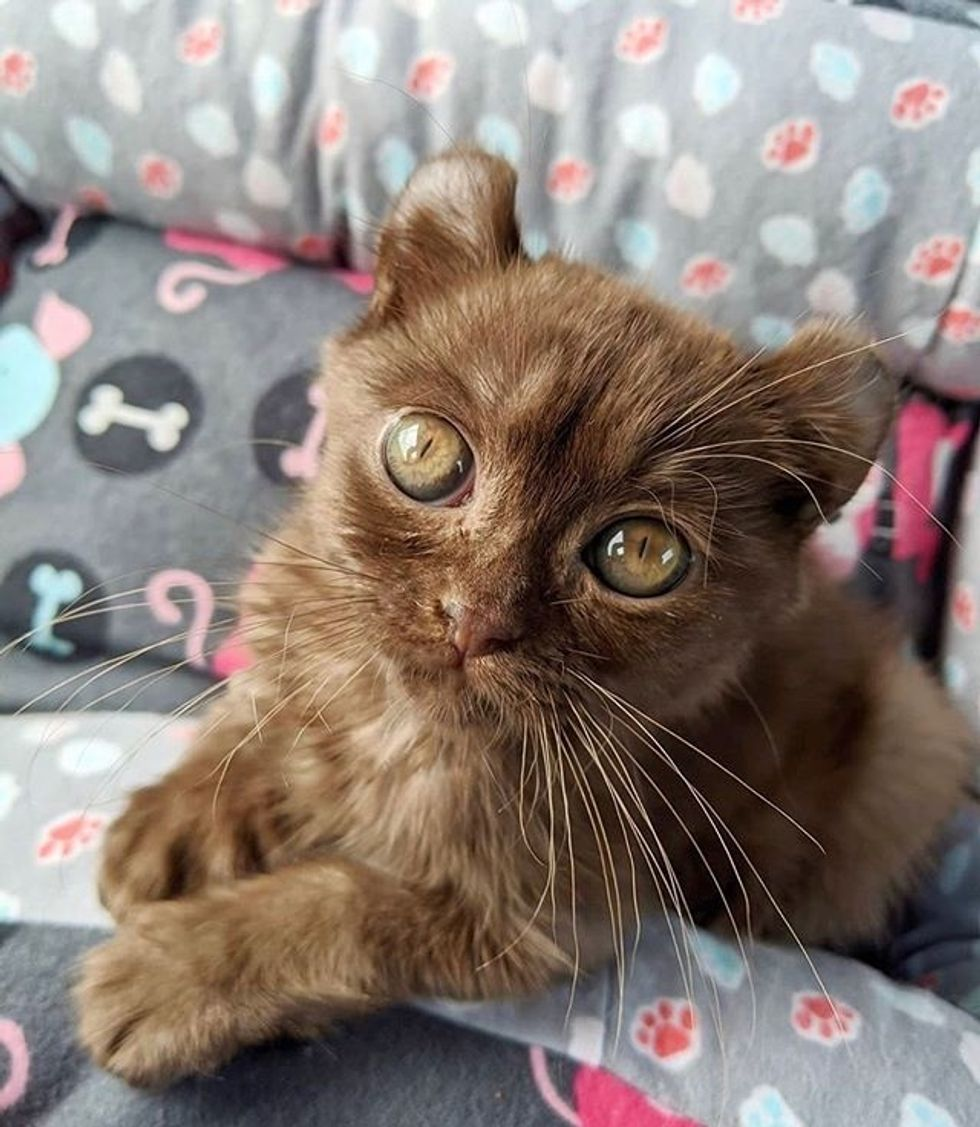 cute, kitten, quill, bear-eared