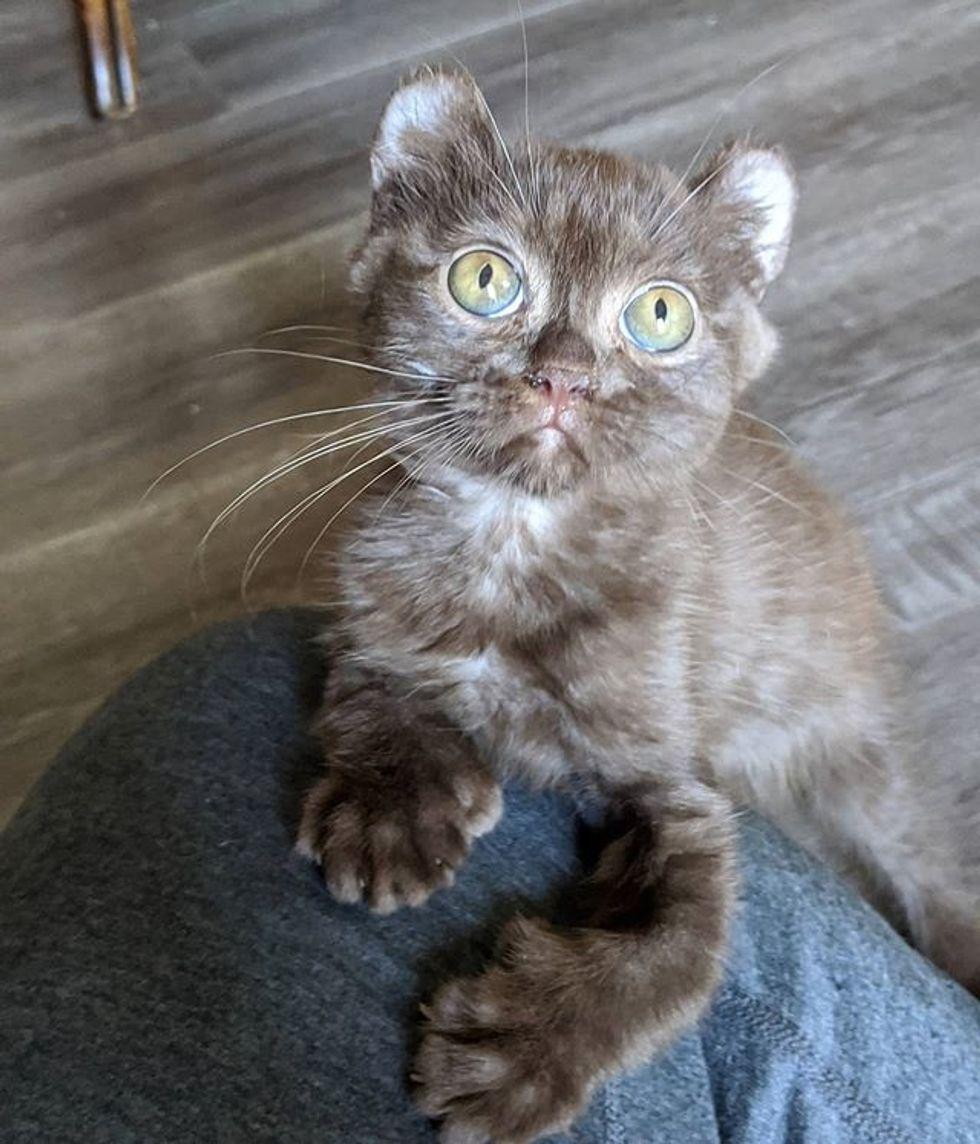 cute, kitten, quill, bear-eared, twisted legs