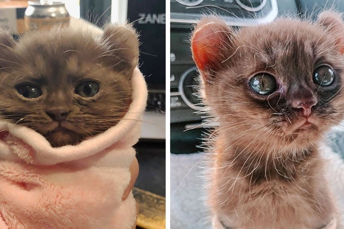 Kitten with Teddy Bear Ears Steals Hearts with Her Strong Spirit