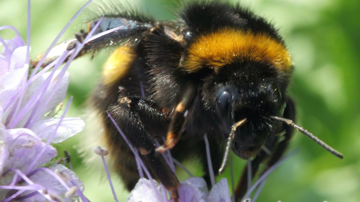 Bumblebees Trick Plants Into Flowering Early, Study Finds