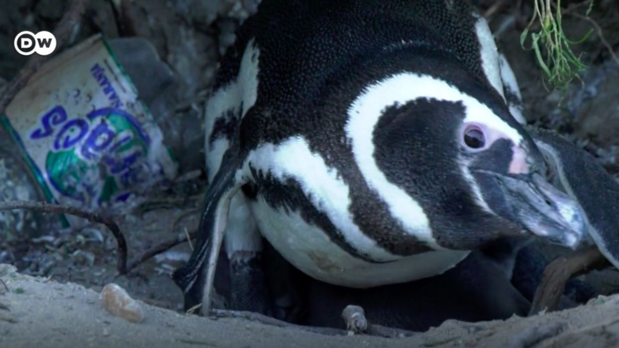 Protecting Argentina's Imperiled Penguins From Plastic Waste