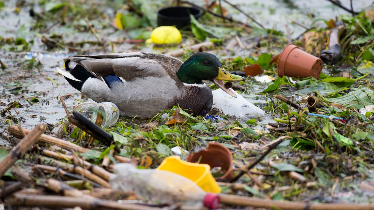 Birds Are Eating Hundreds of Plastic Bits Daily, New Studies Find