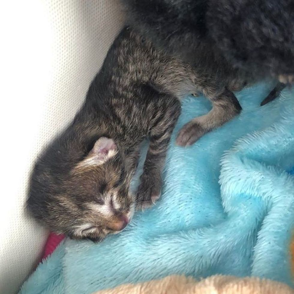 kitten, nap, tabby, biscuits