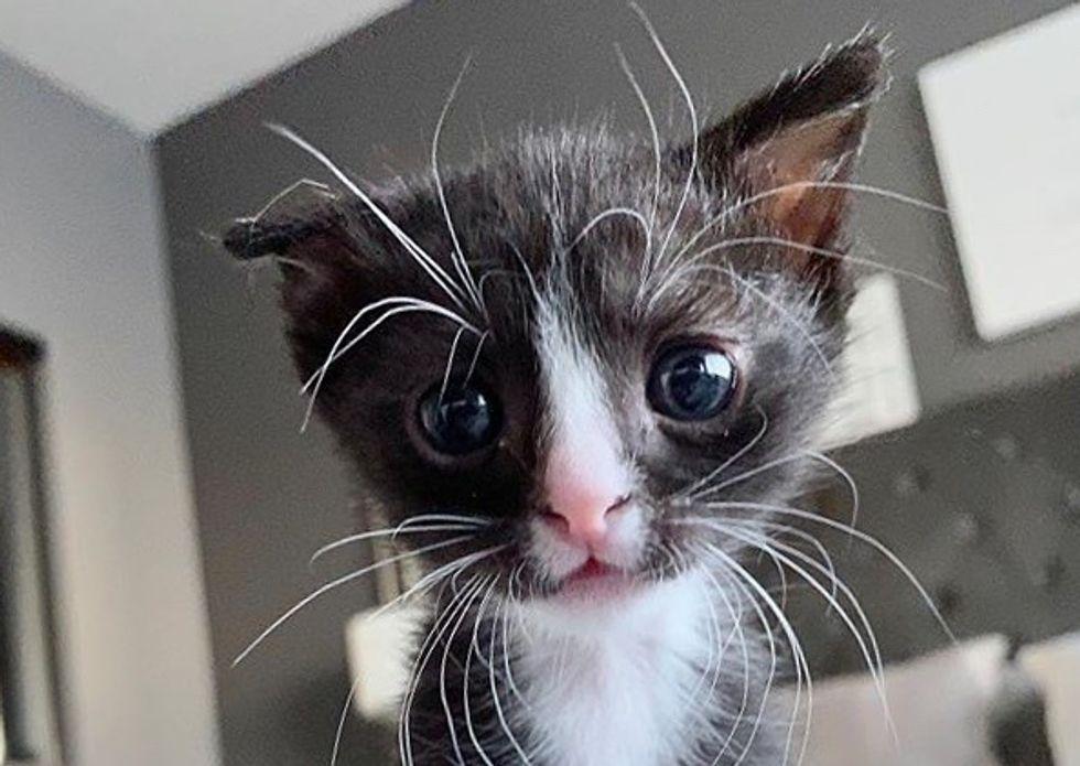 tuxedo kitten, floppy ear, long whiskers