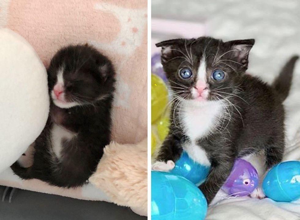 cute, tuxedo kitten, floppy ear