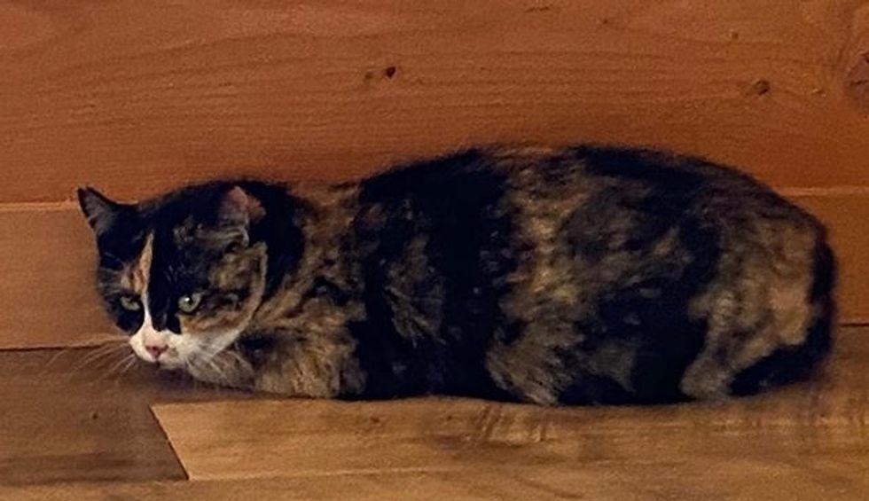 calico cat, rescued cat
