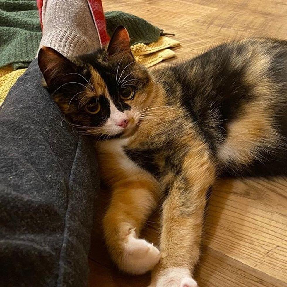 cute cat, calico cat