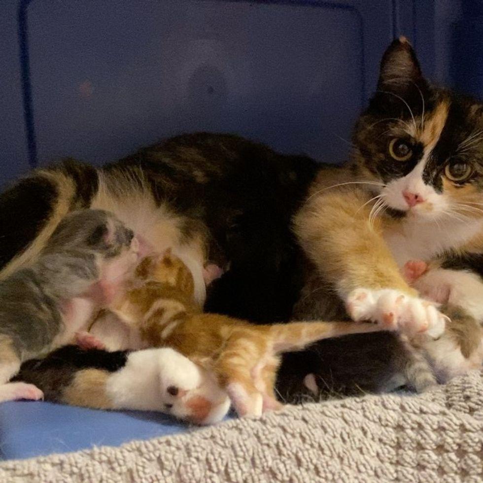 nursing kittens, calico cat, newborn kittens