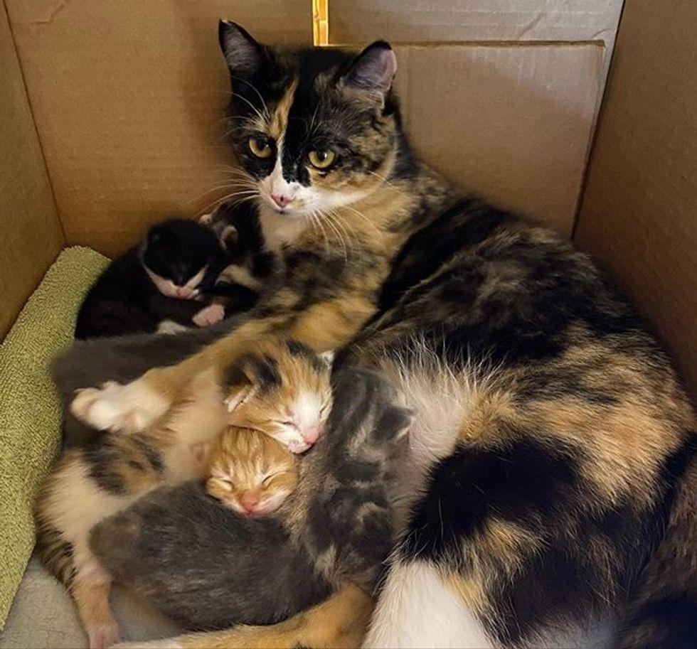newborn kittens, calico cat, cat mom