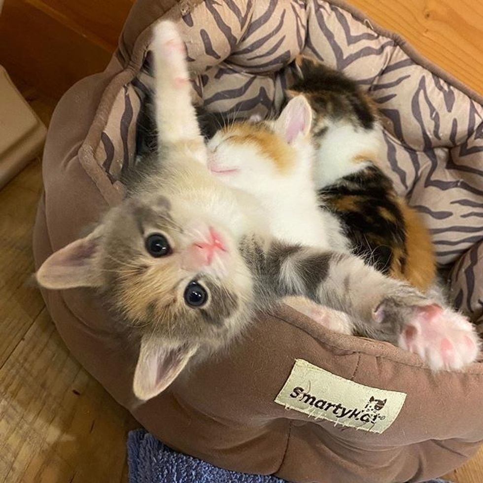 stretching, paws, cute kitten