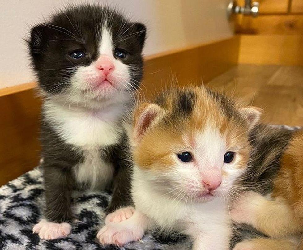 tuxedo kitten, calico kitten