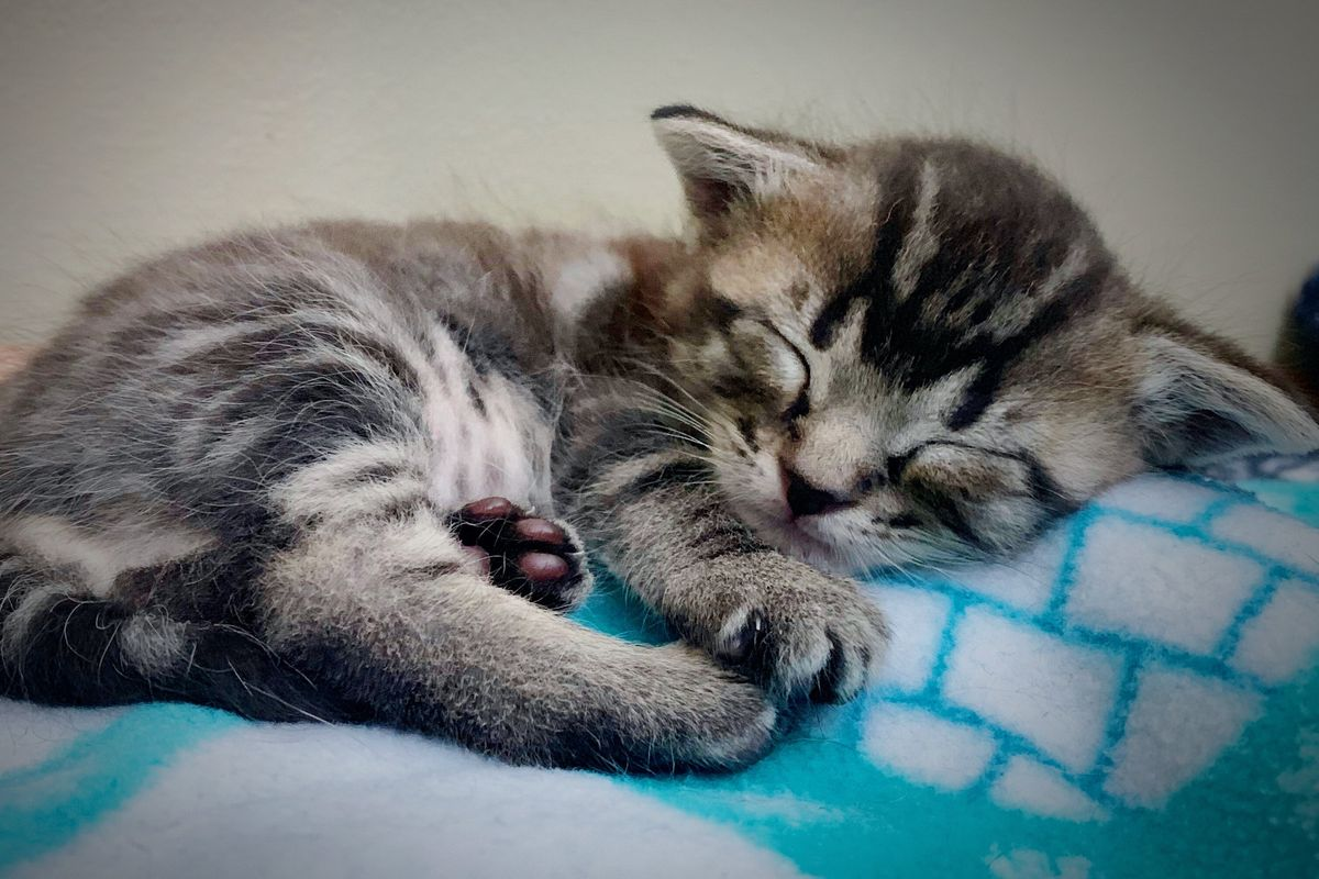 Why Do Cats Purr? Cats and Kittens Purr for Extraordinary Reasons