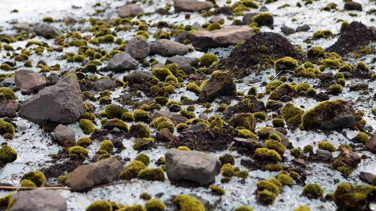 The mystery of moving,  mossy, 'glacier mice'