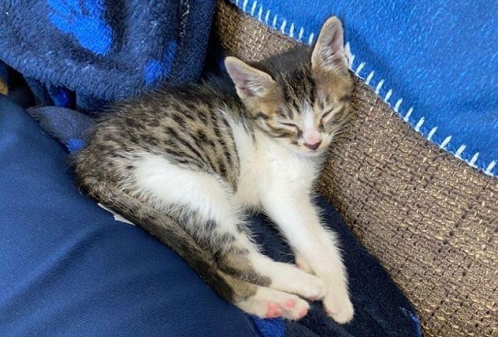 sleeping, tabby kitten