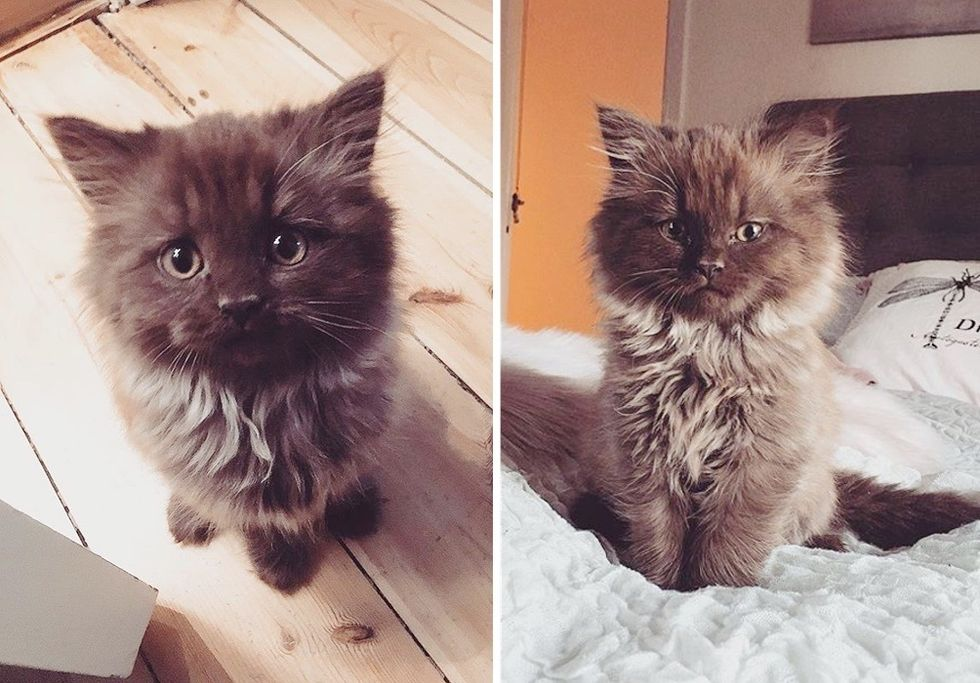 cute, kitten, fluffy, teddy bear
