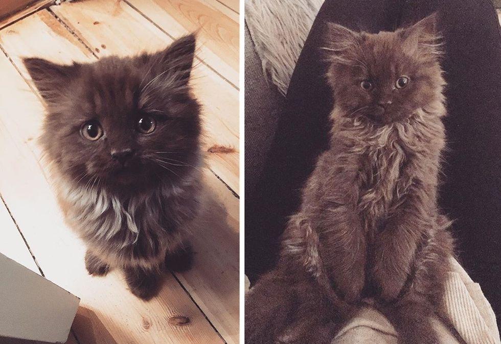 teddy bear kitten, cute