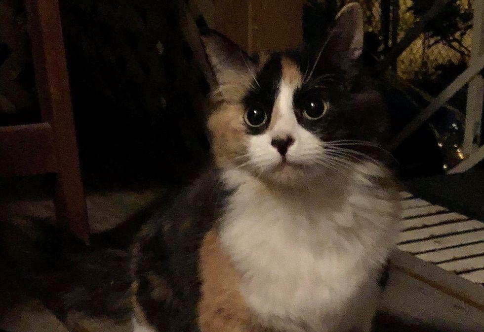 stray kitten, calico cat