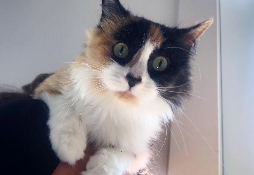 calico cat, cute kitten