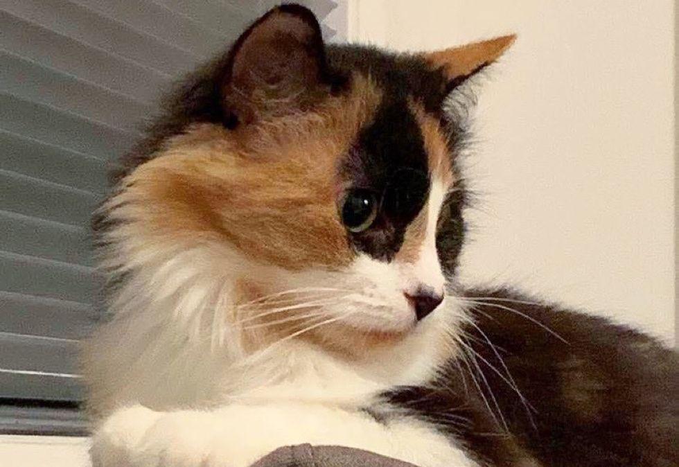 beautiful cat, calico