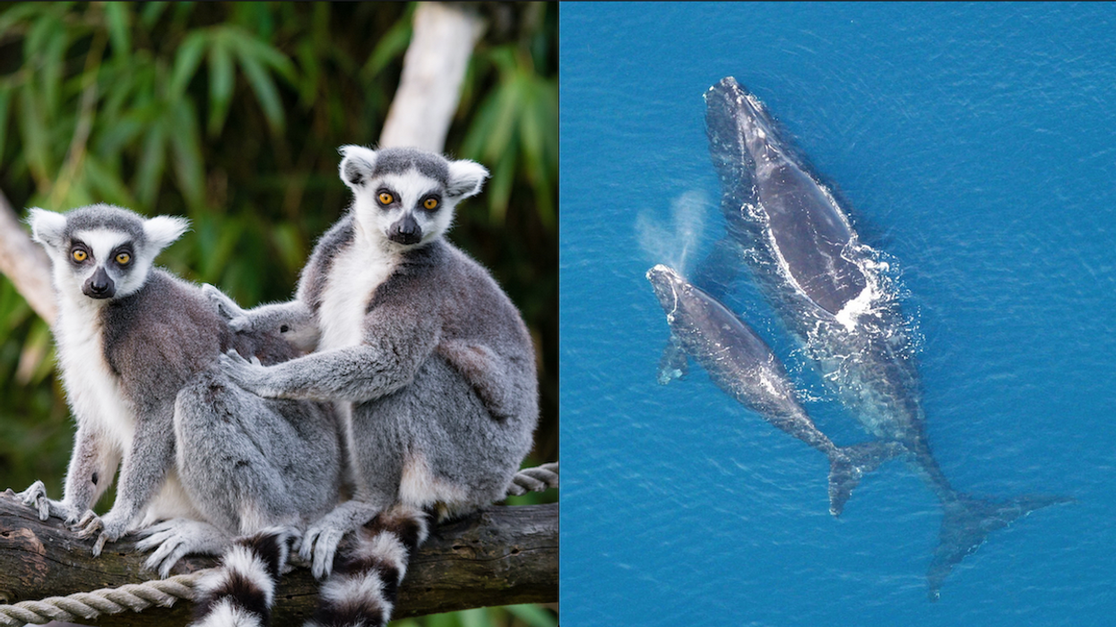 Lemurs and Northern Right Whales Near Brink of Extinction