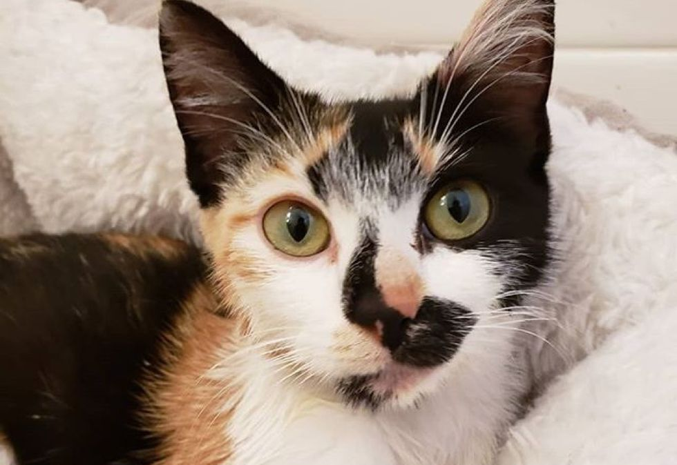 calico, cute cat