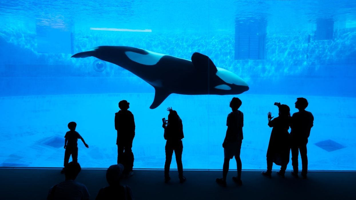 The impact of stress on orcas held in captivity