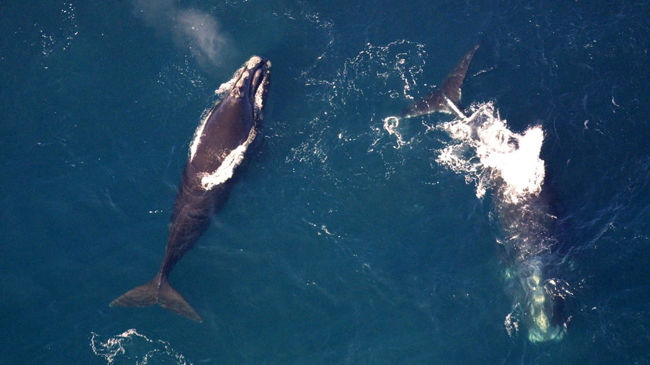 Watchdog Accuses Trump's NOAA of 'Choosing Extinction' for Right Whales by Hiding Scientific Evidence