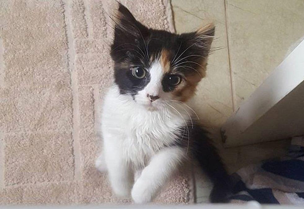 calico kitten, cute