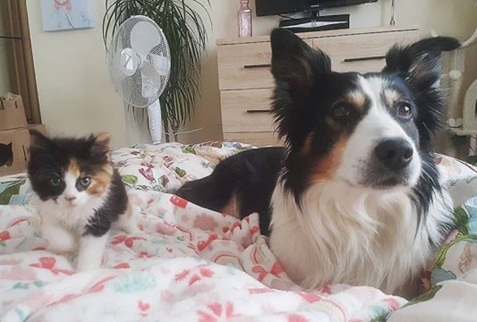calico kitten, cute, dog