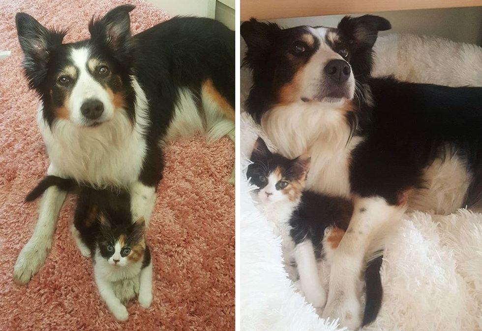 cuddles, dog, kitten, calico