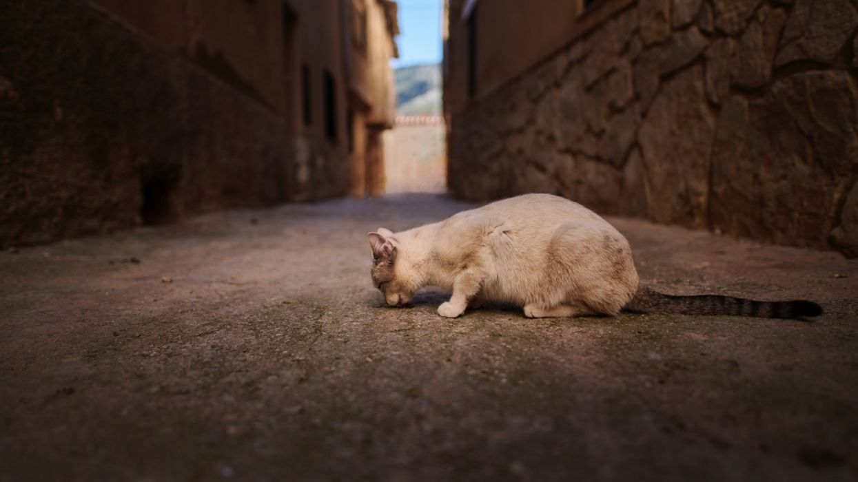 cat sniffing the ground in an alley