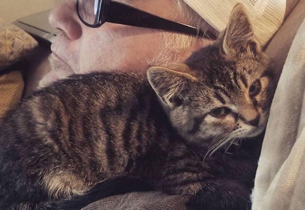 shoulder kitten, tabby cat