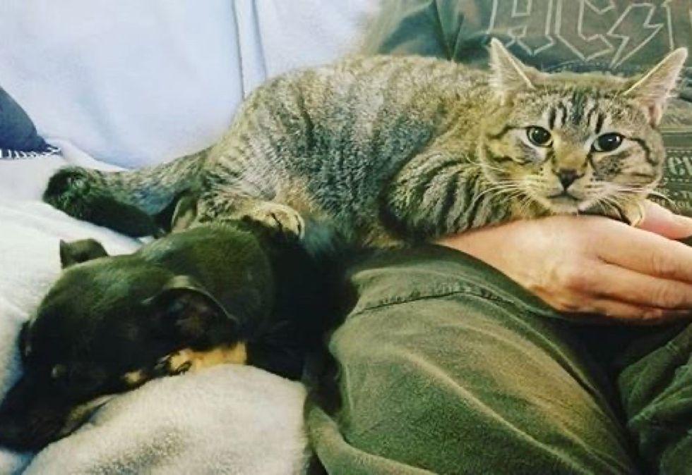 tabby cat, cute, lap cat