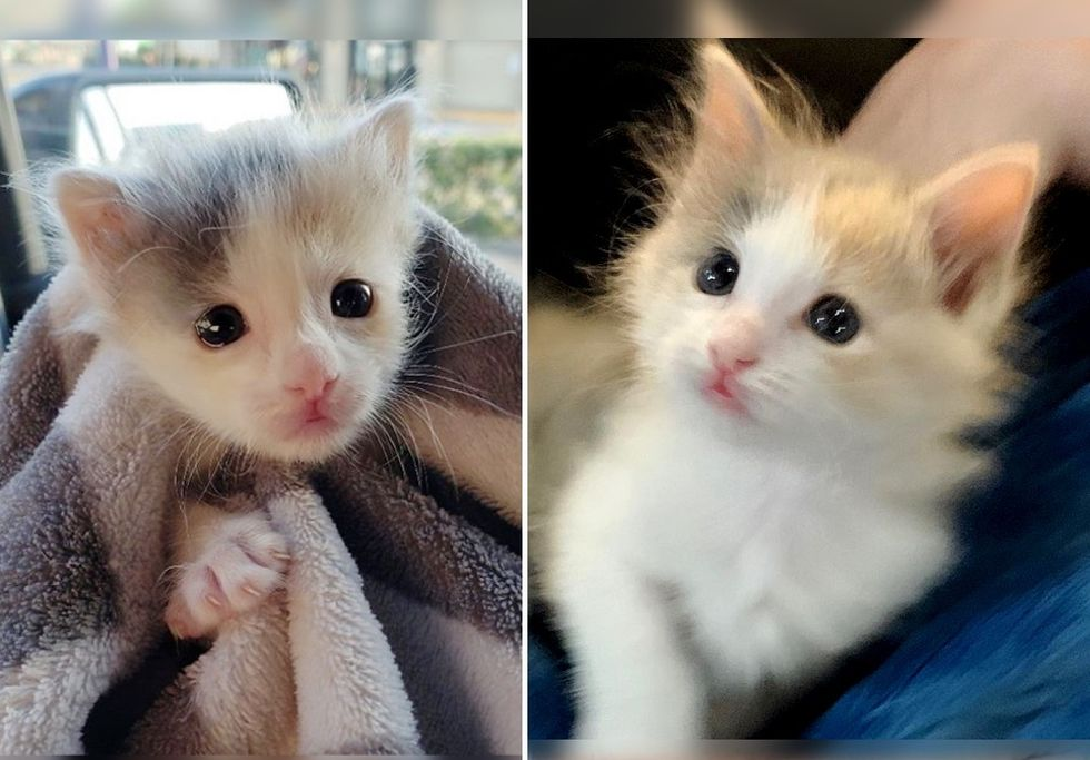 Calico, cute kitten