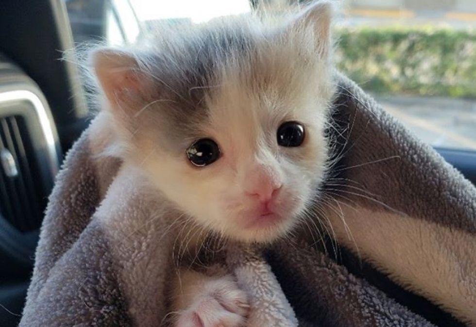 cute kitten, calico