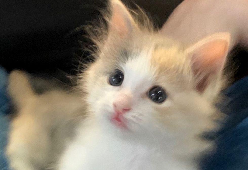 cute kitten, calico, fluffy