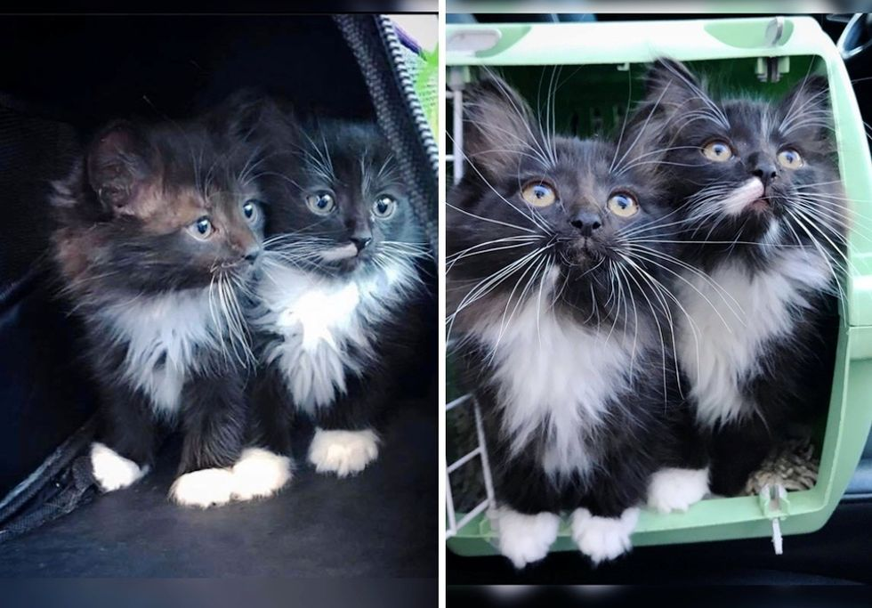 tuxedo kittens, brothers, twins, cute cats