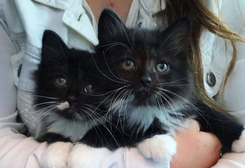 tuxedo brothers, cute kittens, cuddle