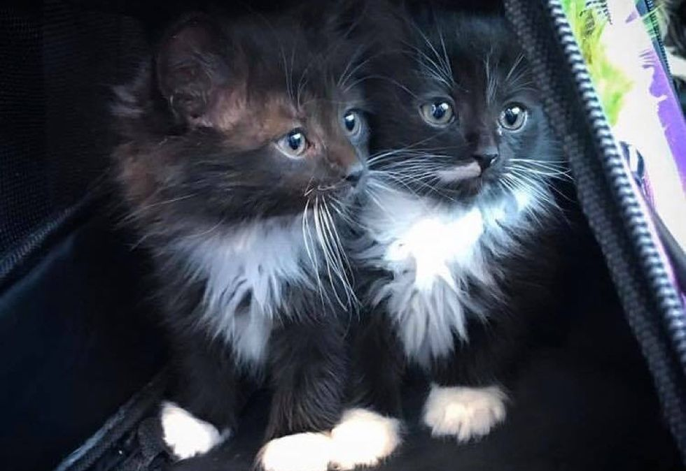tuxedo kittens, twins, look alike