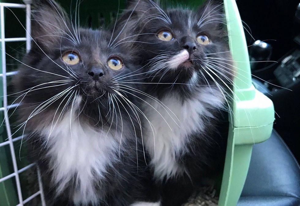 cute, kittens, tuxedo, twins
