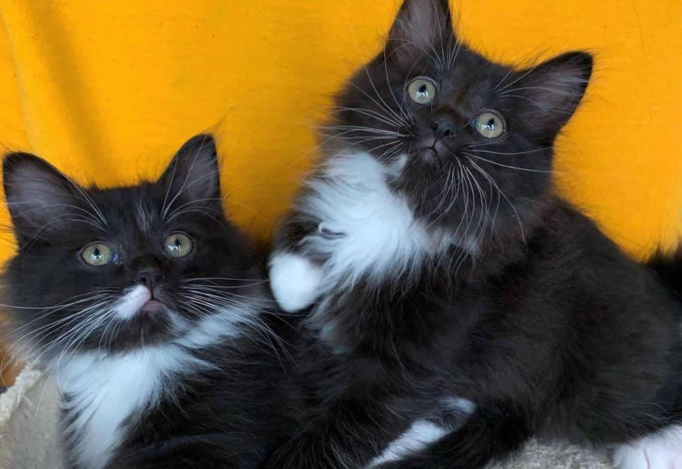 tuxedo cats, cute kittens