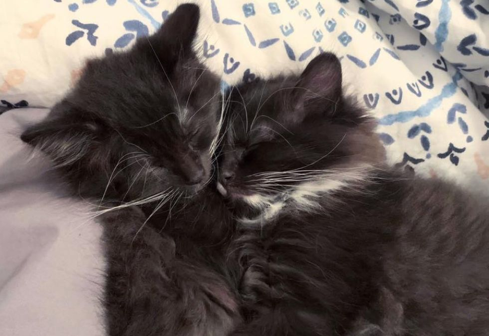 naps, cuddles, tuxedo kittens