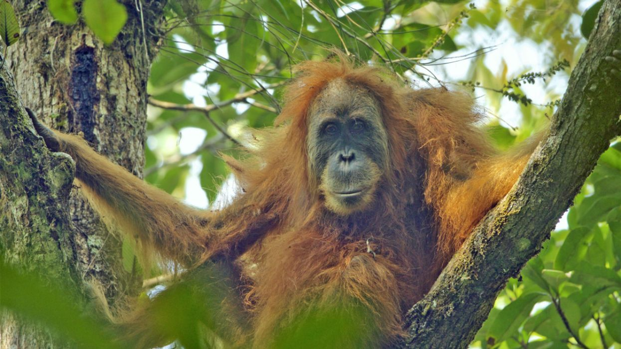 Critically Endangered Orangutan Species in Indonesia Gets Reprieve as Controversial Dam Delayed