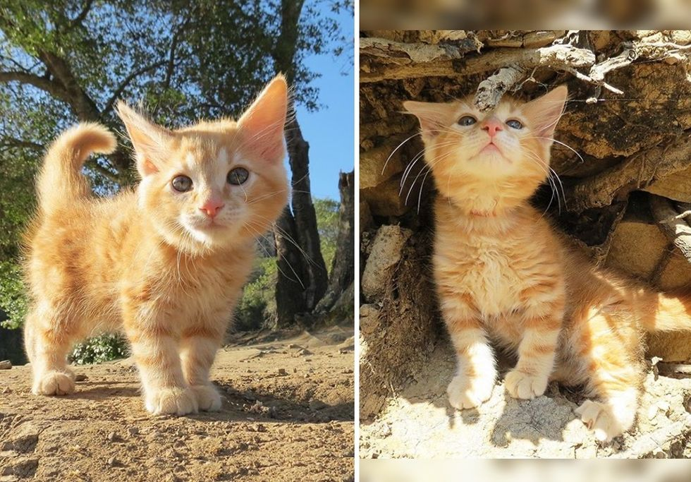 ginger kitten, cute cat, kitten