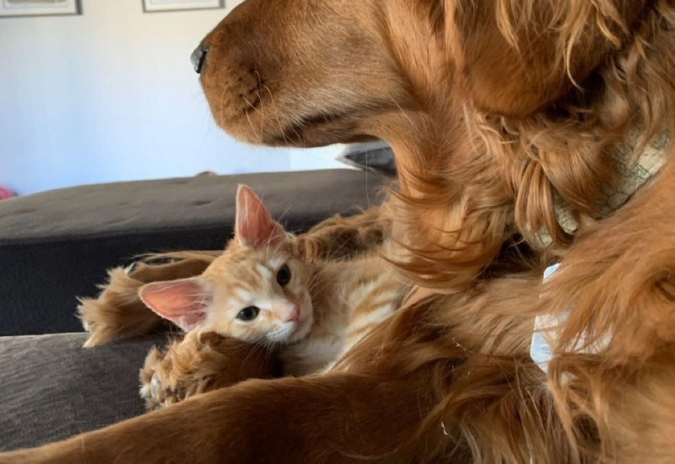 dog, cuddles, kitten, ginger cat