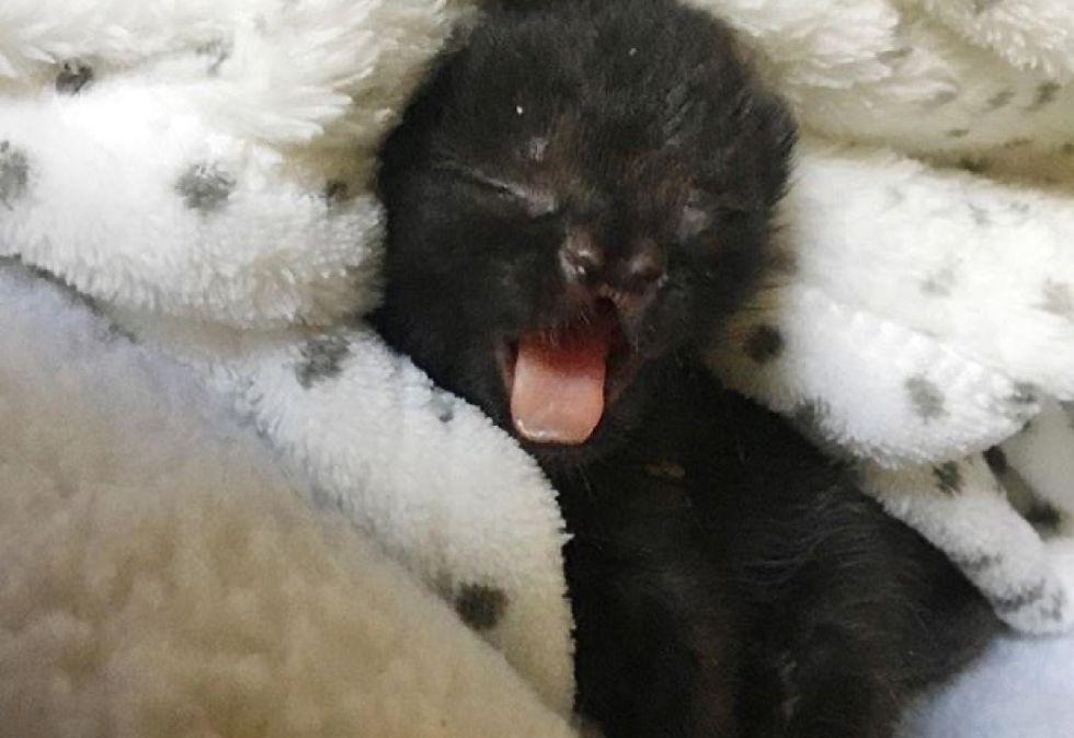 cute, kitten, yawn, cleft nose