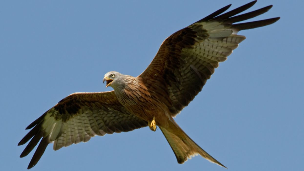 Red Kites Are Thriving in UK Thanks to Conservation Effort