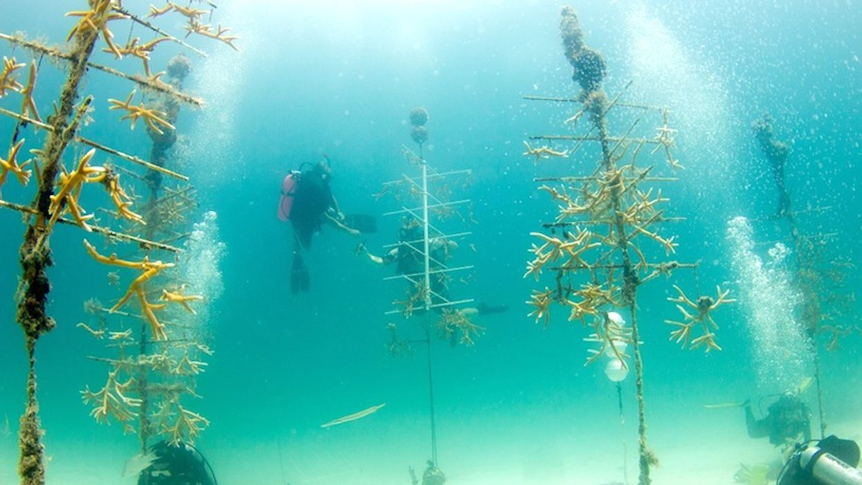Coral Reef Outplants: Sea Temperature an Often Overlooked but Vital Factor in Success, Scientists Find